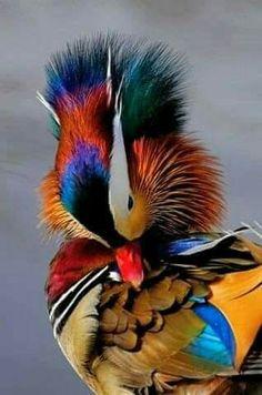 Mandarin Duck- WOW!