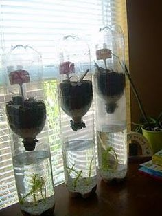 Bottle Ecosystem, This is the most awesome class idea to teach ecosystems! Its self contained and you can observe the activity for the rest of the year. No mess no fuss and all of this cost about 17 dollars.