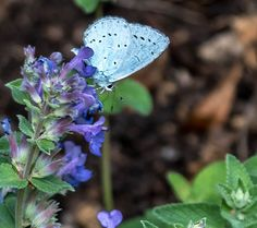 Holly Blue Butterfly | by nickcoburn62