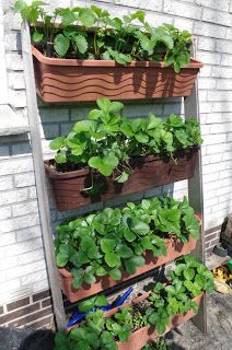 Mr. Greens Welt: Erdbeer Wandplantage Update / Mai