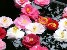椿(tsubaki) = camellia Hounen-in KYOTO Japan