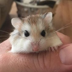 Roborovski hamster. I have one of these, she's called Pepper.