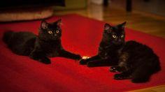 My Lucky Black Cats - Puma & Glitch