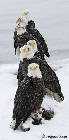 The Mighty Eagles of Alaska
