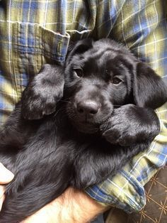 Beautiful Black Lab puppy