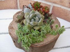 Wood and succulents