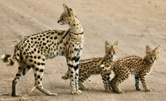 """funnywildlife: """"Rare sighting of Serval cats with twin kittens! African Wild Cat, African Cats, African Safari, African Serval Cat, Rare Cats, Exotic Cats, Exotic Fish, Small Wild Cats, Big Cats"""