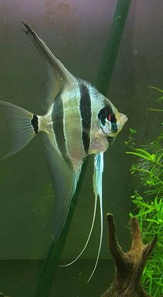 Tropical Fish Aquarium, Freshwater Aquarium Fish, Beautiful Sea Creatures, Animals Beautiful, Aquariums, Oscar Fish, Betta Fish, Discus Fish, Fish Artwork