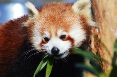 Red Panda - Taken at Paradise Wildlife Park, Broxbourne