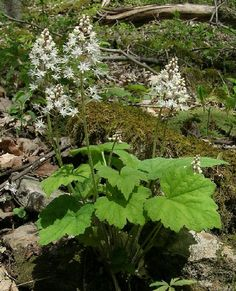 foam flower tiarella maybe a ground cover in north Dakota shade take the cold to zone 3