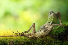 What Are You Doing Chameleon? Just Chillin Photography By: Roni Hendrawan