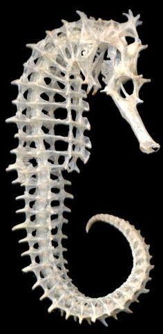 El sorprendente esqueleto de un caballito de mar La selección natural ha conseguido, después de millones de años, llegar a las soluciones más eficientes y elegantes para los diferentes problemas biomecánicos. El esqueleto de los caballitos de mar es un buen ejemplo de ello, combina fuerza y flexibilidad a partes iguales.