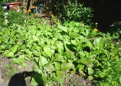 young mustard greens with purple pak choi Easy Vegetables To Grow, Mustard Greens, Chicken Casserole, Grow Your Own, Planters, Purple, Garden, Vegetable Gardening, Chicken Stuffing Casserole