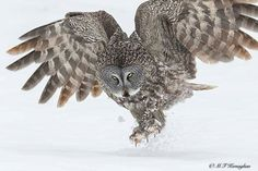 From :@mfkphotography.ca -  Great Grey Owl takes off after an unsuccessful attempt to find a vole. - For info about promoting your owl art or crafts send me a direct message @owl.gifts or emailowl-gifts@outlook.com  . Follow @owl.gifts for beautiful and inspiring owl images and videos every day! .  #owl #owls