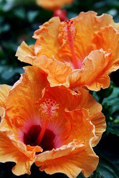.  Hibiscus