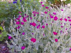 Rose Campion.  Actually a biennial, but it self seeds so it seems perennial.  Flowers in spring/early summer.  Flowers are vividly colored.  Leaves are fuzzy like Stachys. No/lo watering.