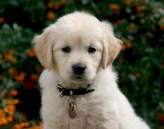 Fay, an Adorable Little Golden Retriever Guide Dog Puppy at 6 weeks old