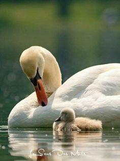 - Mute swan (Cygnus olor) by PhotoDragonBird on DeviantArt Beautiful Swan, Beautiful Birds, Animals Beautiful, Cute Baby Animals, Animals And Pets, Animal Photography, Nature Photography, Cygnus Olor, Swan Pictures
