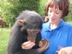 Go Eco - eks frivilling med sjimpanser Zambia. Volunteer In Africa, Chimpanzee, Orphan, Endangered Species, Conservation, Retirement, Destinations, Wildlife, Vacation
