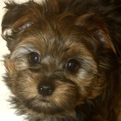 A yorkie-ton!!  So sweet!  Cross between a Yorkshire terrier and a Coton de Tulear.