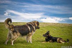 Kaukasischer Schäferhund im Größenvergleich zu einem normalen Schäferhund.