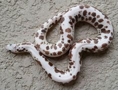 Kenyan sand boas are adorable little snakes, with various cool morphs. Check out our article to see some of these adorable kenyan sand boa morphs! Pretty Snakes, Cool Snakes, Beautiful Snakes, Cute Reptiles, Reptiles And Amphibians, Unique Animals, Cute Animals, Snake Breeds, Serpent Animal