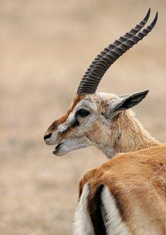 Thomson's gazelle / Thomson-Gazelle (Eudorcas thomsonii) Serengeti N., Tansania From my archive safari . Save Animals, Animals Images, Nature Animals, Funny Animals, Wild Animals, Wild Creatures, All Gods Creatures, Alpacas, Thomson Gazelle