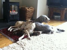 Week 172′s Dogs of the Week are… Aida and Oscar! #whippet #bedlingtonterrier #dogoftheweek