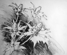Black and white graphite study – the flowers are almost luminous against the darker background, and I love the graphic shapes (and negative spaces) they form