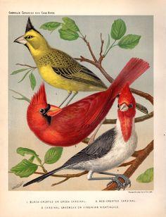 1878 Antique Bird Print Cardinal Nightingale Bird Lithograph Ornithology Home Decor