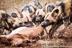 African wild dogs (Lycaon pictus) in iSimangaliso Wetland Park as they hunted and fed on an impala.