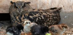 an eagle owl named flea was feeling broody, but couldn't have babies of her own. so keepers at saarburg's birds of prey park in germany, took pity on the bird and gave her chicken eggs to incubate. now the surrogate mother is doing a great job of raising the chicks.