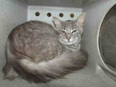 ID #A145331 - male longhair, new 6/19 -   For more information about this animal, call:  Oklahoma City Animal Shelter at (405) 297-3100  Ask for information about animal ID number A145331