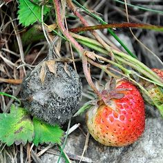 Botrytis cinerea Strawberry, Science, Fruit, Plants, Strawberry Fruit, Plant, Strawberries, Planets, Strawberry Plant