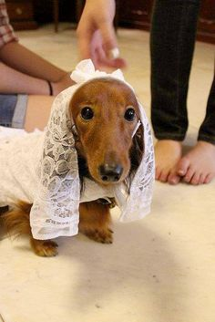 Sweety the dachshund bride by DianaDesignsNY and the Gs, via Flickr