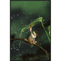 Global Gallery Red-Eyed Tree Frog in Rain, Native to Central and South America by Michael Durham Framed Photographic Print on Canvas Size: