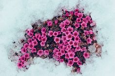 earliest plant to bloom seen above melting snow edible plant