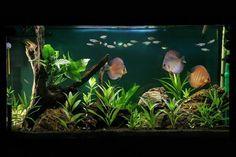 #amazing #aquarium #discus #cichlid OWNER: MEHRDAD ROOPAEI