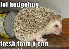 lol hedgehog  fresh from a can