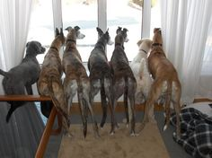 Greyhound rumps