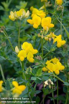 Lotus corniculatus   bird's-foot trefoil   Wildflowers of the Pacific Northwest