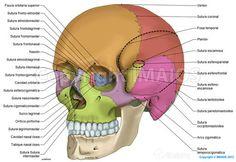 Anatomía del cráneo:ilustraciones anatómicas: Suturas del cráneo, Huesos del cráneo, Hueso parietal, Hueso frontal, Hueso occipital, Hueso esfenoides, Hueso temporal, Hueso etmoides, Cornete nasal inferior, Hueso nasal, Maxilar, Hueso cigomático, Mandíbula