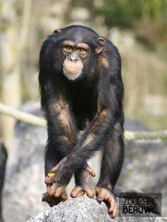 #Chimpanzé - ZooParc de Beauval