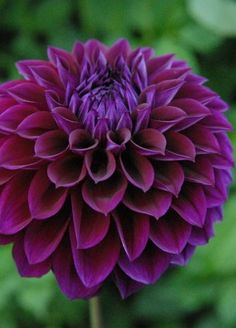 """~~Dahlia 'Diva' ~ 5"""" Incredible dark purple blooms on very long stems. The petals are very unique in that they come to a point at the edge. Beautiful! 