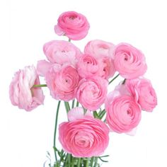 Think pink at FiftyFlowers.com! With dense layers of tissue like petals, these true pink ranunculus will add fresh color to a spring event! Use these as a secondary focal flower alongside white football mums and pink snapdragons! Offered in quantities of 50, 100, and 200 stems!