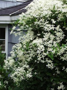 Clematis Paniculata Sweet Autumn Clematis White. Tall climber.   Too invasive, still think it's pretty
