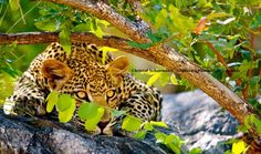 Leopard relaxing in a tree at Timbavati, South Africa by Christof Schoeman Wildlife Photography