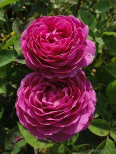 ~Patio rose 'Heidi Klum', Tantau Germany, 1999