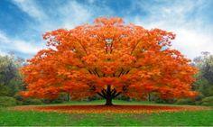 Alberi bellissimi con mille sfumature di colori con una grande valenza anche sotto il profilo della salute. Da un tipo di questa pianta si estrae un elisir