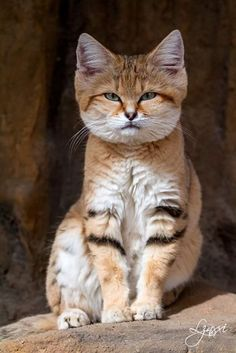 The sand cat (Felis margarita), also known as the sand dune cat, is the only cat living foremost in true deserts. Animals And Pets, Baby Animals, Funny Animals, Cute Animals, Wild Animals, Funny Cats, Pretty Cats, Beautiful Cats, Animals Beautiful